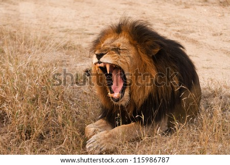 Yawning lion near Kruger National Park, Hoedspruit, South Africa