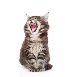 yawning maine coon cat. isolated on white background