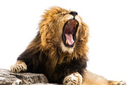 Yawning or roaring lion against white background