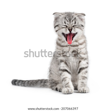 Yawning Scottish kitten