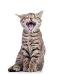 Yawning small grey kitten isolated on white background.