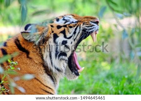 Yawning Tiger Panthera Tigris Altaica #1494645461
