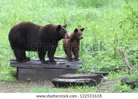 Yearling American Black Bear with mother
