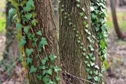 Yedra tangled in tree trunks