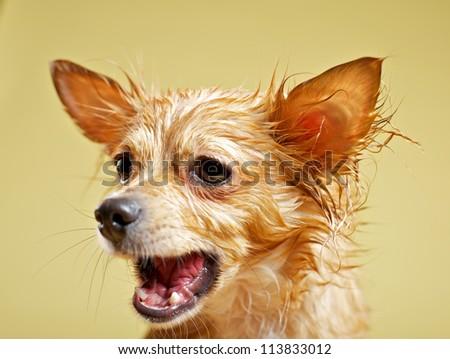 Yelling chihuahua - stock photo