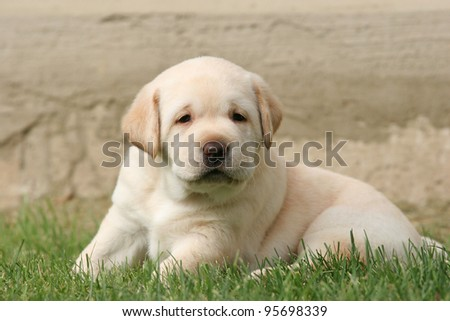 yellow a month-old labrador puppy in the grass