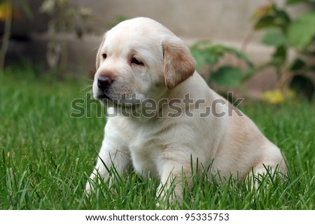 yellow a month-old labrador puppy sitting in the grass