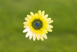 Yellow African daisy, Osteospermum is a genus of flowering plants belonging to the Calendulae, one of the smaller tribes of the sunflower, daisy family Asteraceae. They are known as the daisy bushes