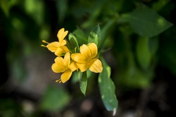 Yellow Allamanda cathartica flower in the forest4