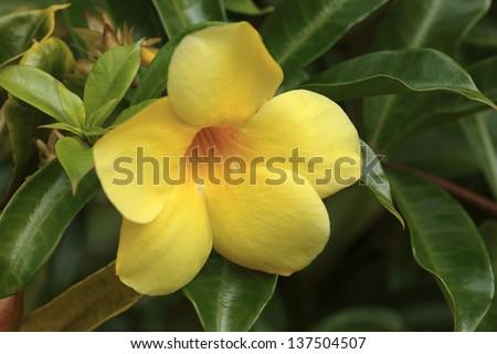 Yellow Allamanda ( Tahitian Golden Trumpet flower) exotic tropical flower, close-up. Hawaii, Maui, USA