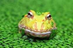 Yellow Amazon frog closeup front view, animal closeup, pacman frog on swamp, amphibian closeup