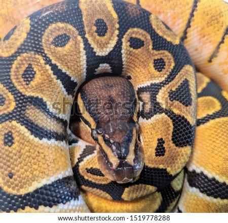 yellow amnesia python snake reptile