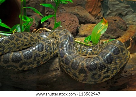 yellow anaconda alive resting in a terrarium - stock photo