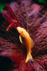 Yellow Ancistrus albino in a freshwater aquarium