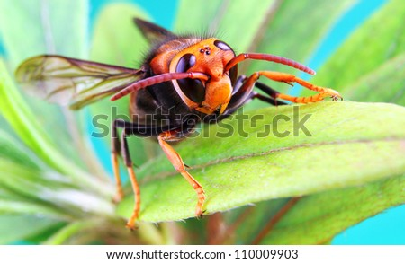 Yellow and Black Asian Hornet on a green leaf
