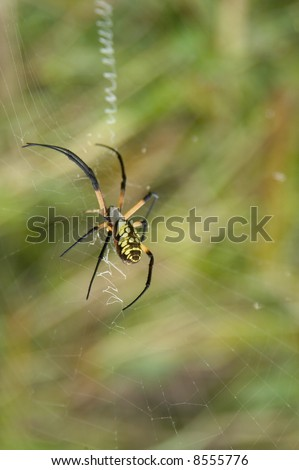 Yellow and Black Garden spider in Red Slough wildlife management area in Oklahoma.