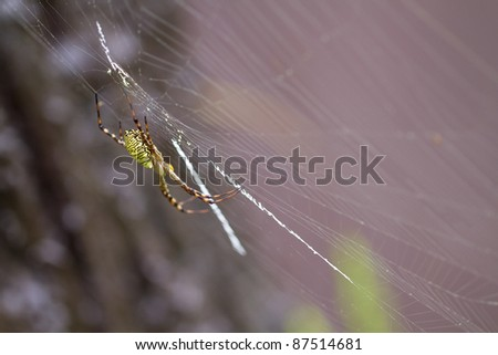 Yellow and Black Garden Spider Macro