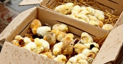 yellow and black little broiler chickens with down on the body sit in a cardboard box close-up top view. newborn chicks.