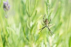 Yellow and black Orb Spider, Orb Web Spider, Orb-Weaver Spider or Wasp Spider, Argiope bruennichi on Lavender Flowers, close up