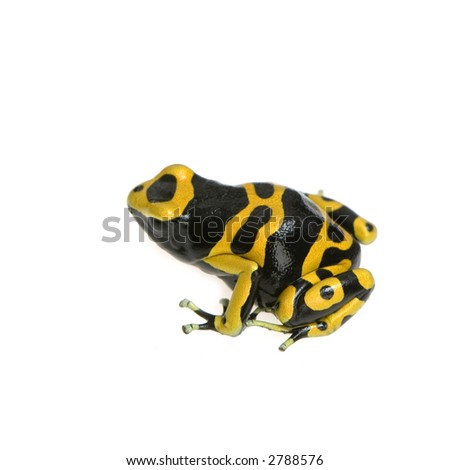 Poison Dart Frog. and Black Poison Dart Frog