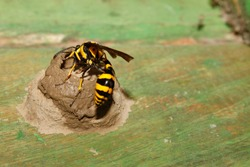 Yellow and Black Potter Wasp or mason wasp (Phimenes flavopictum) building mud nest.