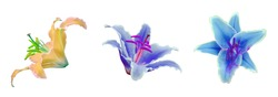 Yellow and blue lily flower isolated on white background