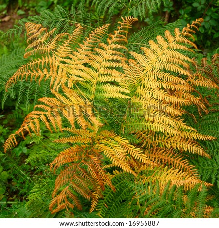Yellow and copper colored fern frond at the start of Autumn in England