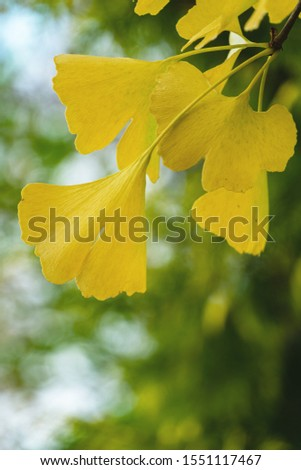 Yellow and gold leaves of Ginkgo tree (Ginkgo biloba), known as ginkgo or gingko against background of blurry foliage. Golden foliage elegant nature concept for design #1551117467