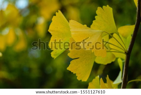 Yellow and gold leaves of Ginkgo tree (Ginkgo biloba), known as ginkgo or gingko against background of blurry foliage. Golden foliage elegant nature concept for design #1551127610