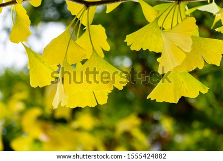 Yellow and gold leaves of Ginkgo tree (Ginkgo biloba), known as ginkgo or gingko against background of blurry foliage. Golden foliage elegant nature concept for design #1555424882