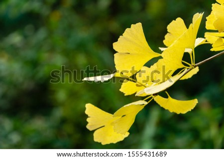 Yellow and gold leaves of Ginkgo tree (Ginkgo biloba), known as ginkgo or gingko against background of blurry foliage. Golden foliage elegant nature concept for design #1555431689
