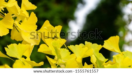 Yellow and gold leaves of Ginkgo tree (Ginkgo biloba), known as ginkgo or gingko against background of blurry foliage. Golden foliage elegant nature concept for design #1555761557
