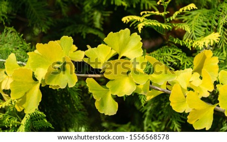 Yellow and gold leaves of Ginkgo tree (Ginkgo biloba), known as ginkgo or gingko against background of blurry foliage. Golden foliage elegant nature concept for design #1556568578