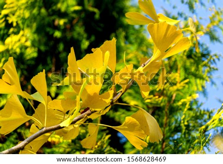Yellow and gold leaves of Ginkgo tree (Ginkgo biloba), known as ginkgo or gingko against background of blurry foliage. Golden foliage elegant nature concept for design #1568628469