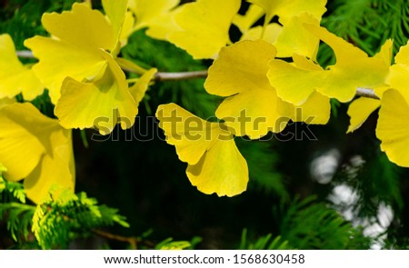 Yellow and gold leaves of Ginkgo tree (Ginkgo biloba), known as ginkgo or gingko against background of blurry foliage. Golden foliage elegant nature concept for design #1568630458