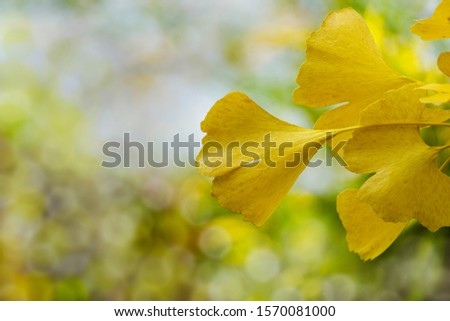 Yellow and gold leaves of Ginkgo tree (Ginkgo biloba), known as ginkgo or gingko against background of blurry foliage. Golden foliage elegant nature concept for design #1570081000