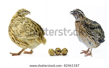 Yellow and gray strains of domestic quail with their eggs isolated on white background