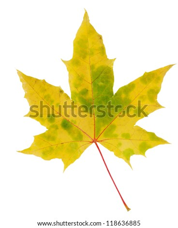 Yellow and green autumn maple leaf isolated on white background