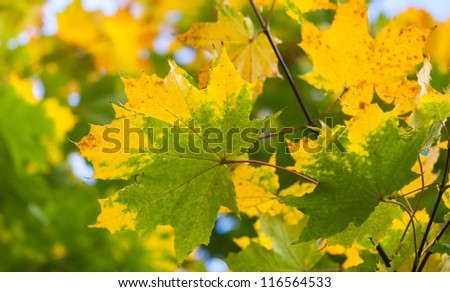 Yellow and green autumn maple leaves background. Selective focus