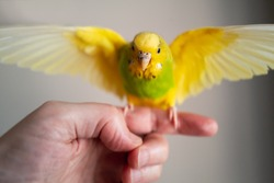 Yellow and green budgerigar parakeet pet taking off ready for flying from the finger and hand of a person.  The little bird has her wings at full span.