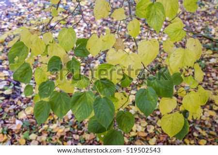 Yellow and green leaves on branches, against a blurred background of fallen autumn leaves Stockfoto ©