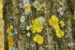 Yellow and green lichens