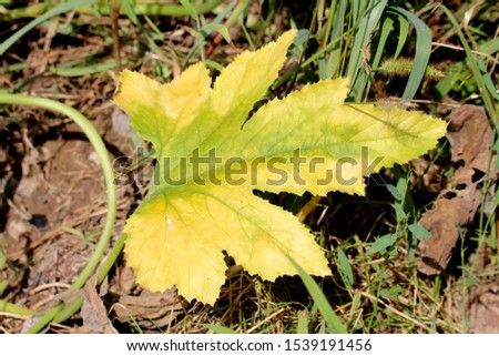Yellow and light green large leathery pumpkin leaf surrounded with other plants in local urban garden on warm sunny summer day