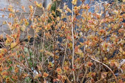 Yellow and orange bush with brown stem and branch. Colorful plant in spring morning. Blurred background wood fence, green leaves
