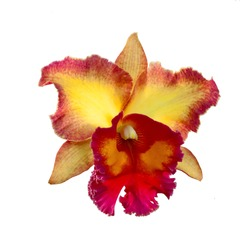 Yellow and Orange Cattleya Orchid isolated on a white background.