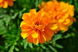 Yellow and orange marigold flowers (tagetes) in bloom