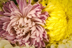 Yellow and pale pink spider mums