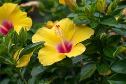 Yellow and pink hibiscus flower surrounded by green leaves