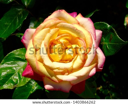 Yellow and pink rose in a Spanish garden #1403866262