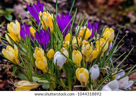 Yellow and purple Crocuses